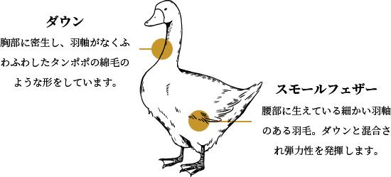 ダウンとフェザーの違いについて。ダウンとは胸部に密生し羽軸がなくふわふわしたタンポポの綿毛のような形をしています。スモールフェザーとは腰部に生えている細かい羽軸のある羽毛。ダウンと混合される弾力性を発揮します。